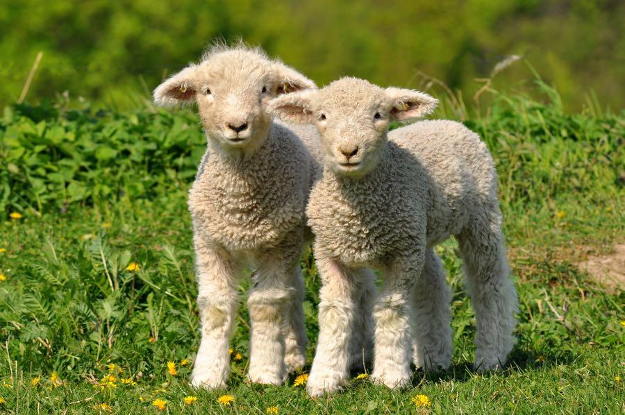 Lambs at Sledmere Farm